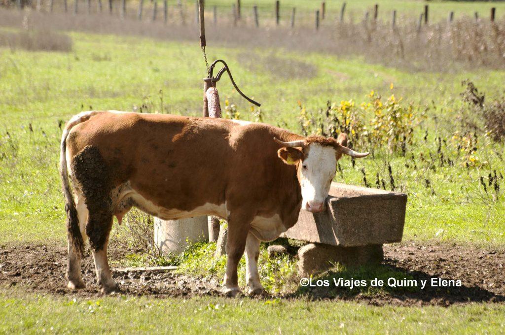 Una vaca mirándonos