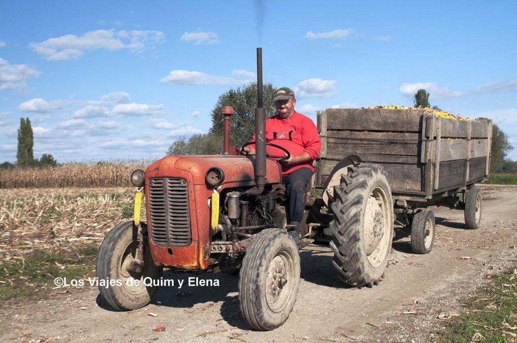 Recogiendo la cosecha en Cigoc