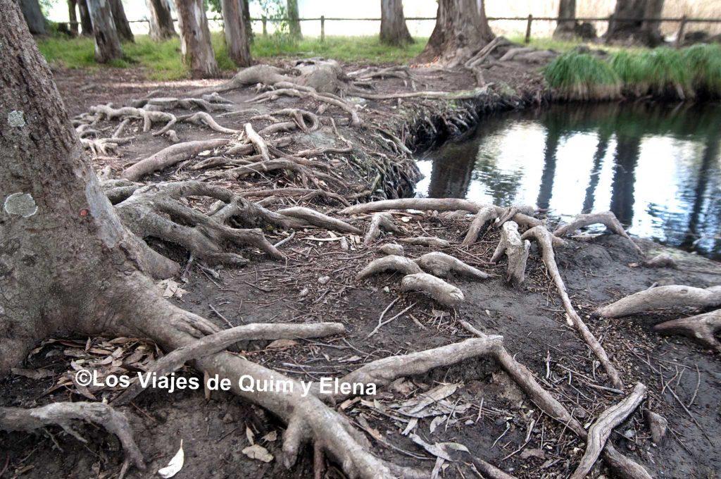 Las raíces buscando el agua en los Ullals de Baltasar