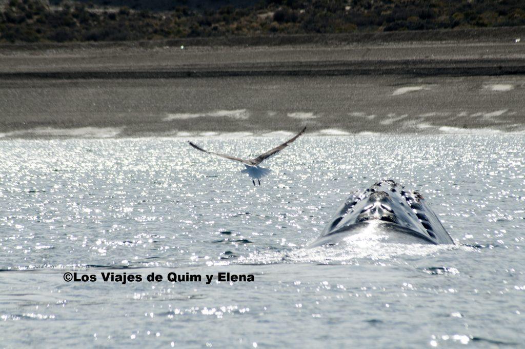 Disfrutando de las enormes ballenas, durante el avistameinto