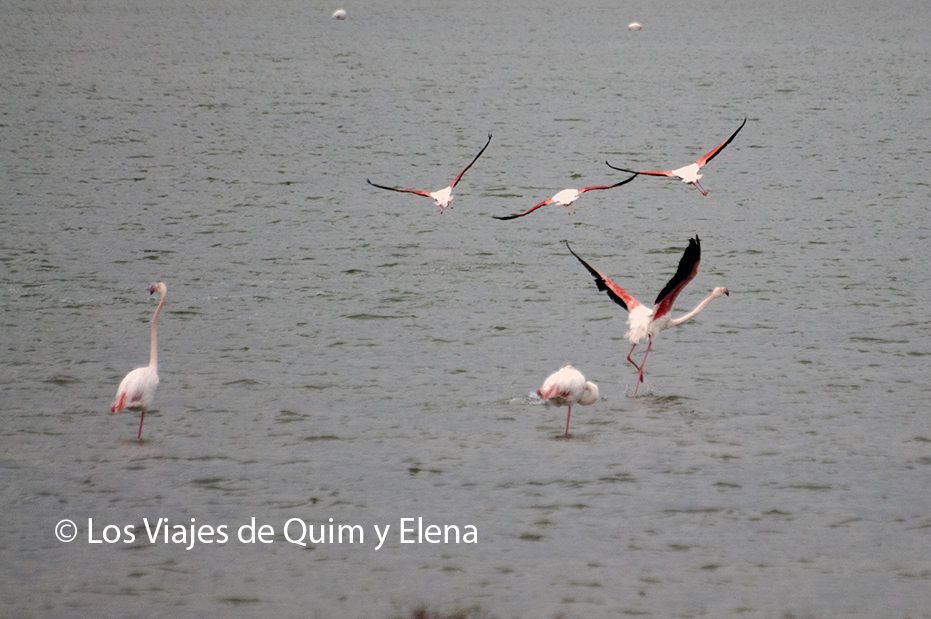 Flamencos levantando el vuelo