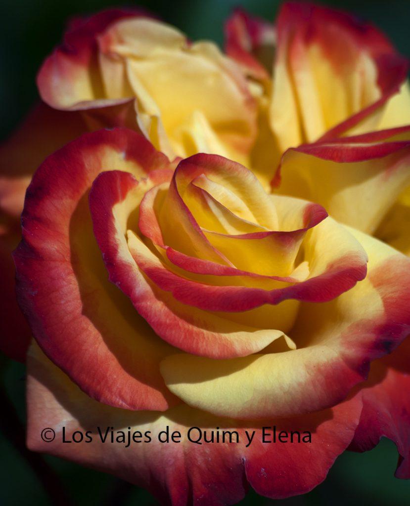 Una espectacular rosa